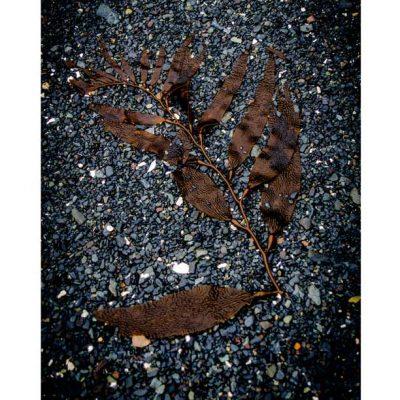 Giant Kelp on Gravel – Print – 10X15″